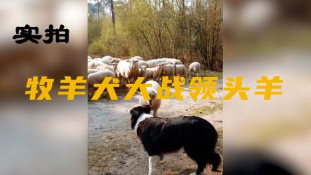 羊狗大战一触即发,双方都是嘴强王者,吃瓜群众都等急眼了