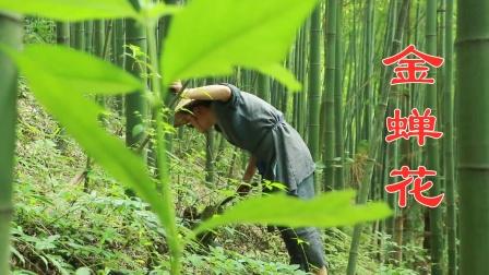 隐藏在竹林里的珍宝,一半金蝉一半花,在古代是种贡品,你见过吗