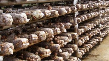 小香菇,大产业