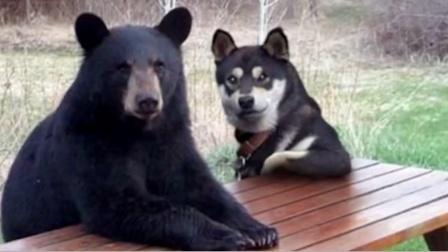 二哈:这是我俄罗斯的朋友 它熊特别好呦