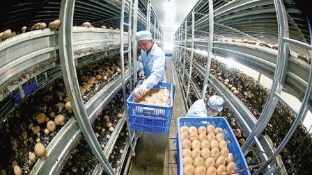 工厂化的菌菇生产
