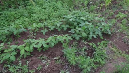 用手推车给植物「补土」:玉米、大豆、花生、土豆、黄瓜、毛葱等