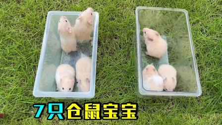 仓鼠妈妈生的7只可爱的小仓鼠宝宝长大了