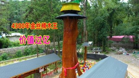 贵州一棵4300年金丝楠木树,渡劫失败被雷击中,意不意外?
