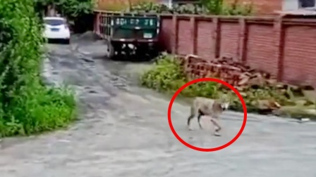 哈尔滨一村庄被指出现狼 村支书:咬死村民家一条狗 已击毙一只
