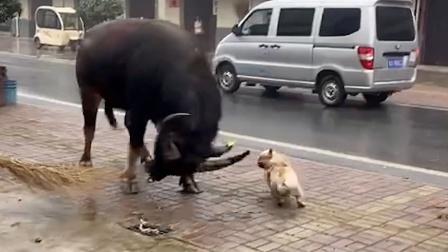 狗:不斗牛 我都对不起斗牛犬的称号
