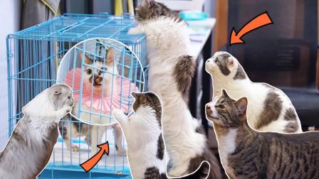 受伤小猫隔离20天后第一次原住民见面,不料被众猫嚣张围观