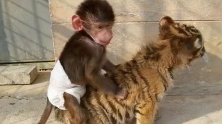 猴子:山中无老虎,猴子称大王,可算轮到我欺负你了