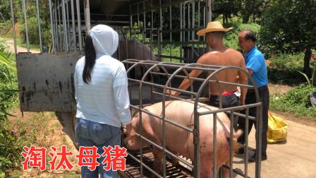 3头母猪产下39头小猪,几天不到死剩3头,阿弟立马把母猪给淘汰了