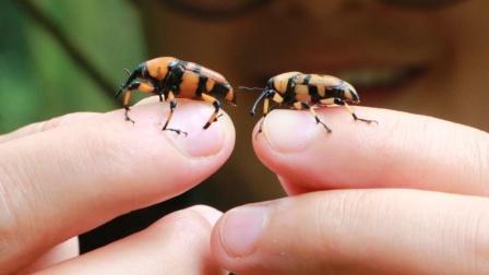 山药上山找笋子虫,想做一道油炸笋虫,到了一看傻眼了!