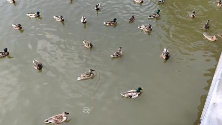 游长白山天池水畔公园-亲近野鸟