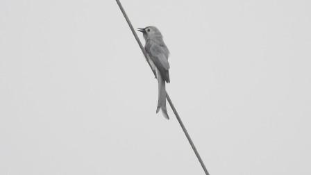 原生态漂亮的灰卷尾鸟,好听的灰卷尾叫声