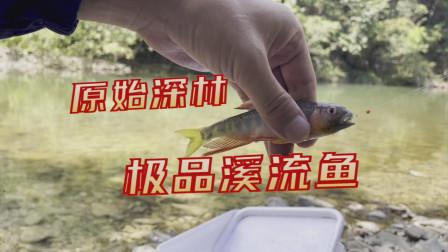 原始森林中的小溪全是红色翅膀的极品溪流鱼,这鱼现在很少了