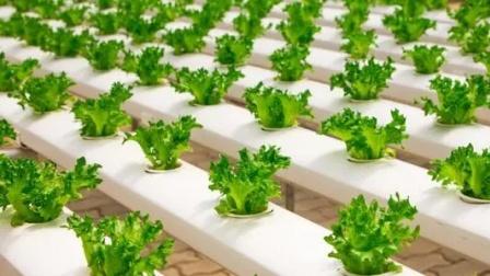 营养液膜方式生产叶类蔬菜
