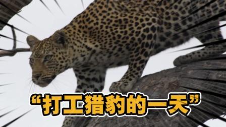 动物世界:打工人猎豹的一天,是什么让它自愿交出打到的猎物?