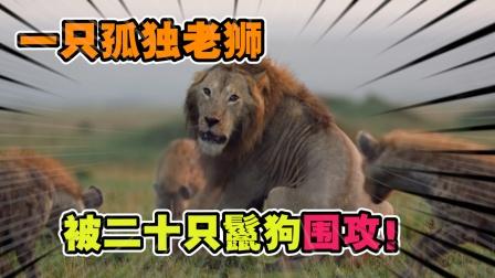 动物世界:二十只鬣狗围攻一只年迈的老狮,结局会如何?