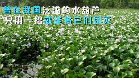 曾在中国泛滥成灾的水葫芦,为何现在不见了
