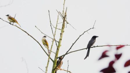 这树枝上有三只小鸟,蜡嘴雀和黑卷尾,黑卷尾嘴里含了牛蚊子