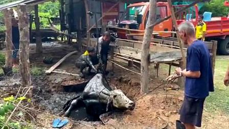 奶牛摔入粪坑 救援人员做一举动网友赞爆