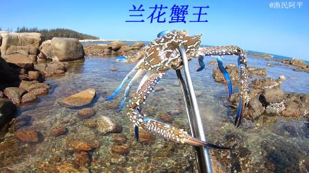 退潮后阿平赶海抓到了兰花蟹王,礁石坑里又掏出值钱的金蛋螺