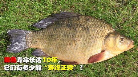 鲫鱼寿命达10年,它们有多少能寿终正寝?