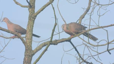 珠颈斑鸠求偶,公斑鸠磕头作揖不停的叫