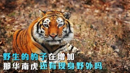 太行山金钱豹在增多,华南虎还能现身野外吗