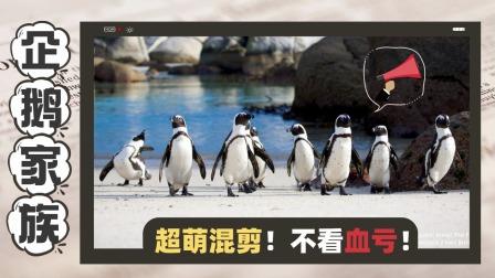 企鹅家族:企鹅超萌混剪,谁还不是小可爱了!