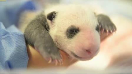 中国旅法大熊猫欢欢将诞下双胞胎