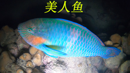 资源丰富的地方海鲜就是多,阿平收获了美人鱼又抓海参和海螺