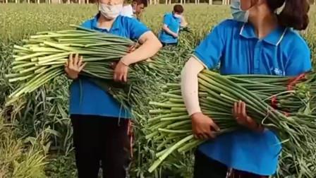 并非所有农村人都勤劳, 蒜苔老成这样才摘, 又得流入城里市场