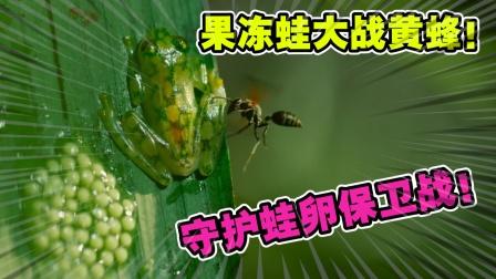 动物世界:黄蜂偷袭果冻蛙的卵宝宝!卵宝宝被吃的只剩下一小团了