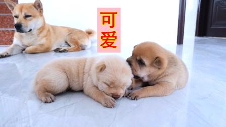 皮豆开心果:小奶狗出生第十八天,抢奶吃呆萌可爱,看看谁最重?