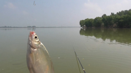 野钓,河里鳊鱼泛滥了,疯狂咬钩