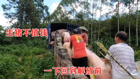 农村小伙投资30万养了93头猪,8.2元一斤出售,看看亏了多少钱