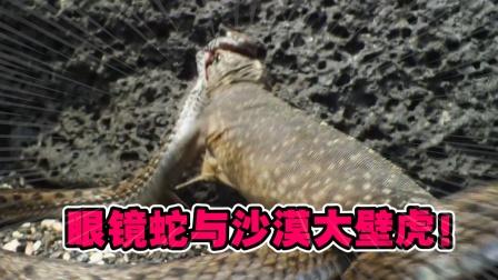 动物世界:数百只眼镜蛇盯上了一群沙漠大壁虎,结局会如何?