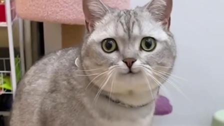 我带着我家猫去看它孩子,可它竟偷人家的鹌鹑蛋,它又想孵蛋了?