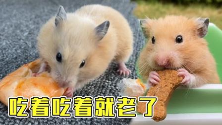 有些小仓鼠吃着吃着就变老了