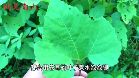 """植物苍耳叶是个""""宝"""",叶子捣碎价值高,今天分享3个厉害妙用"""