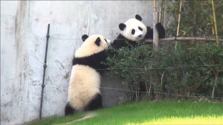 大熊猫偷竹子反被卡,急喊兄弟帮忙,接下来憋住别笑
