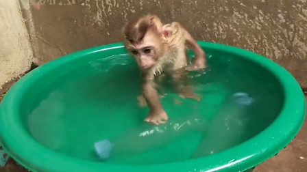 小猴子自己乖乖洗澡,场面太有趣了,镜头拍下搞笑全过程