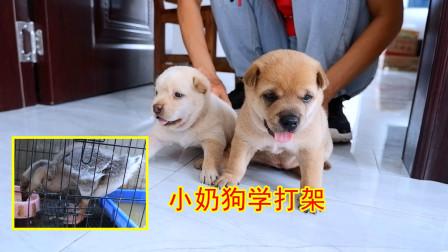皮豆开心果:出生20天的小奶狗学打架,呆萌可爱