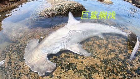 阿平赶海遇见一条被搁浅的大鲨鱼,之后还抓了青蟹和凶猛的海鳗鱼