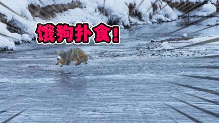 动物世界:冬天里的小故事,是什么让山猫社会性si亡?