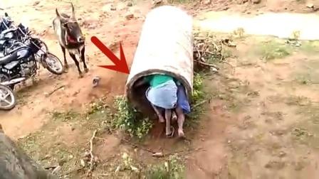 男子故意挑衅公牛,以为躲进水管就没事,结果悲剧了