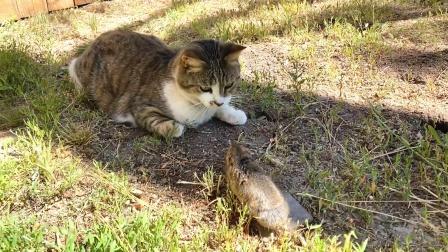 一只地鼠刚钻出来,就撞见一只猫,接下来搞笑了!