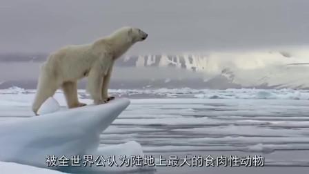 正在觅食的北极熊,发现了躺在冰块上的海狮,结局会怎样呢!