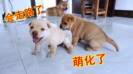 皮豆开心果:22天的混血小奶狗会走路了,跌跌撞撞,心都萌化了