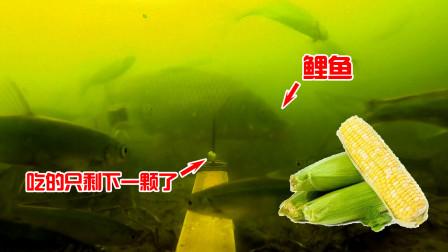 这个视频告诉你,水果玉米打窝有多好用,一大群鲤鱼吃了舍不得走!