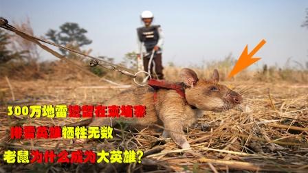 300万地雷散落柬埔寨,排雷英雄牺牲无数,为何老鼠成大英雄?